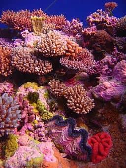 Puerto Galera coral garden