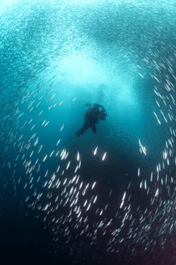 Pescador island sardine shoal
