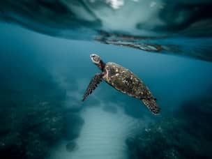Turtle snorkelin in Apo Island