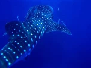 Whale shark in Bohol
