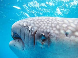 Scars on whale shark in Oslob