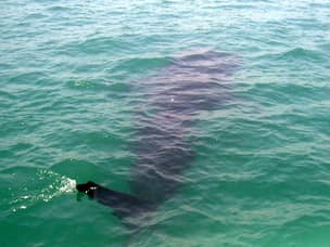 Whale Shark sighting in Donsol