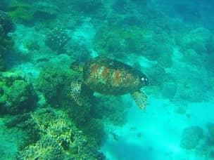 Apo island diving