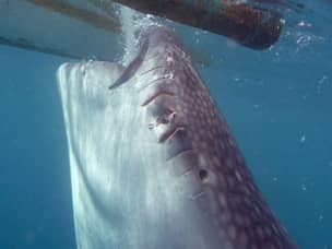 Whale shark too close to boat